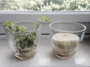 bleekselderij plantje